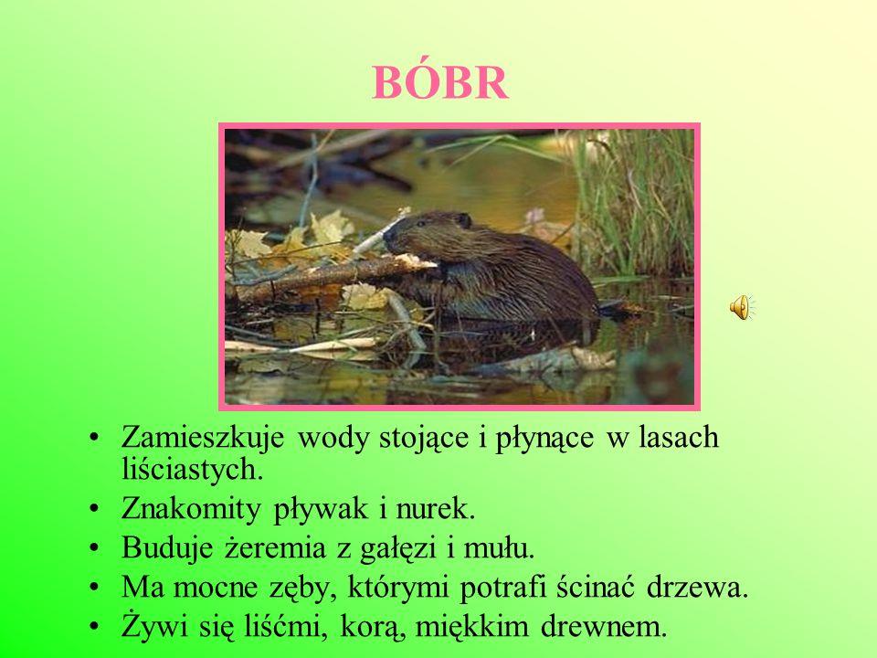 JEMIOŁUSZKA Ptak wędrowny.Do Polski przylatuje w listopadzie, odlatuje w marcu i kwietniu.