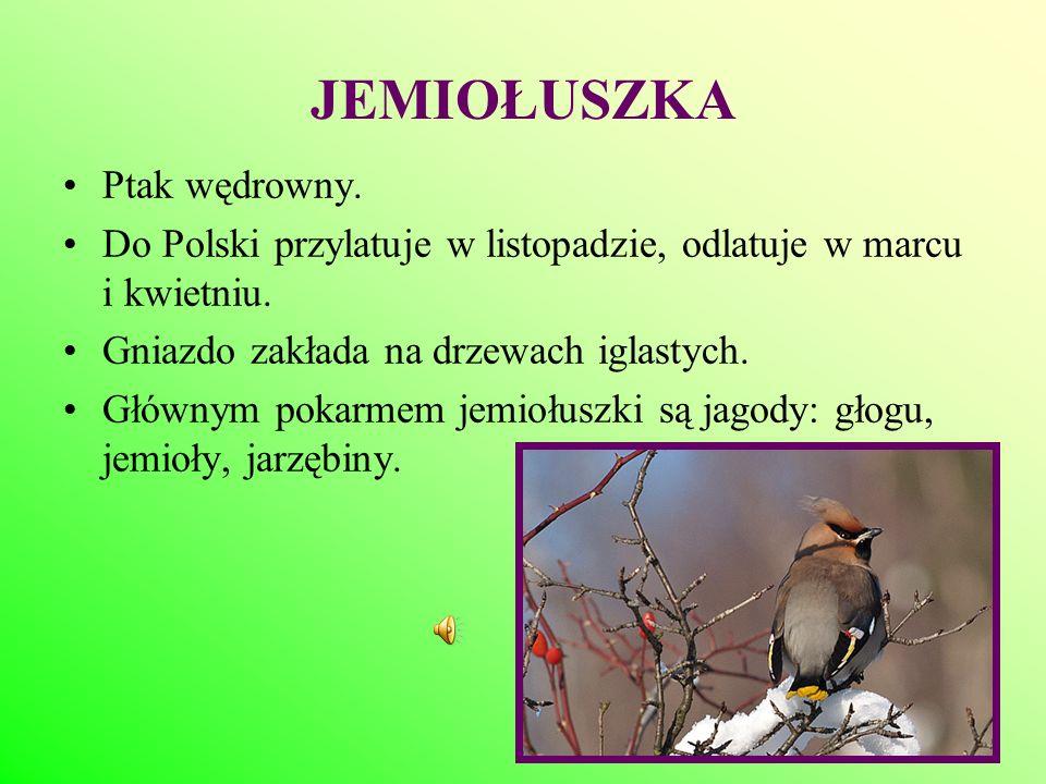 JEMIOŁUSZKA Ptak wędrowny. Do Polski przylatuje w listopadzie, odlatuje w marcu i kwietniu. Gniazdo zakłada na drzewach iglastych. Głównym pokarmem je
