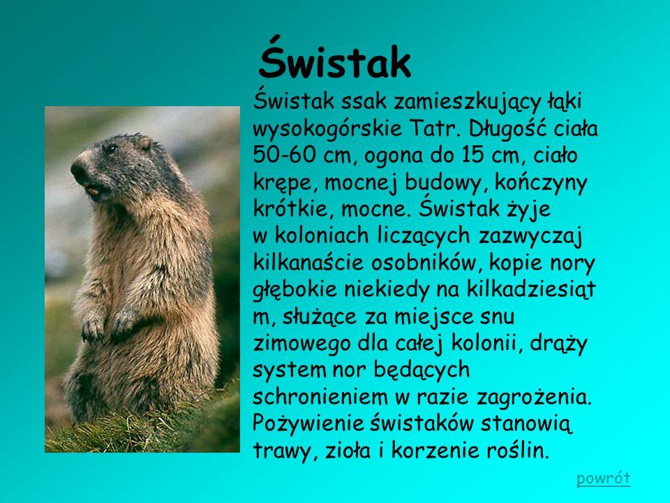 Świstak Świstak ssak zamieszkujący łąki wysokogórskie Tatr. Długość ciała 50-60 cm, ogona do 15 cm, ciało krępe, mocnej budowy, kończyny krótkie, mocn