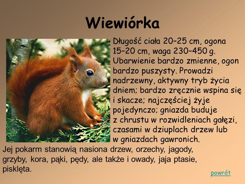 Wiewiórka Długość ciała 20–25 cm, ogona 15–20 cm, waga 230–450 g. Ubarwienie bardzo zmienne, ogon bardzo puszysty. Prowadzi nadrzewny, aktywny tryb ży