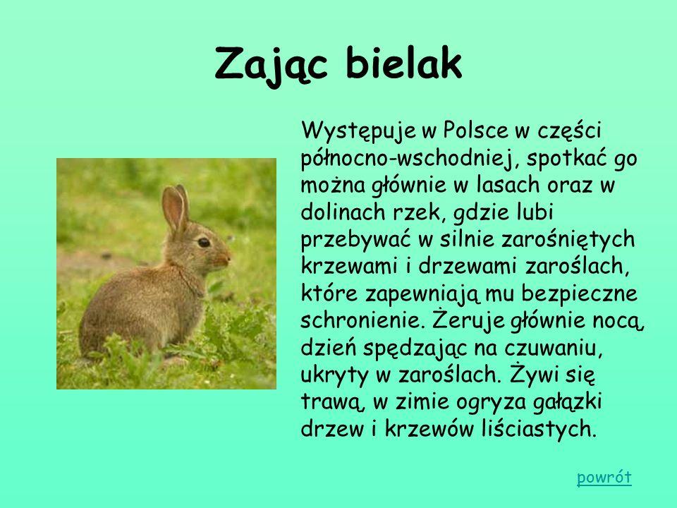 Zając bielak Występuje w Polsce w części północno-wschodniej, spotkać go można głównie w lasach oraz w dolinach rzek, gdzie lubi przebywać w silnie za