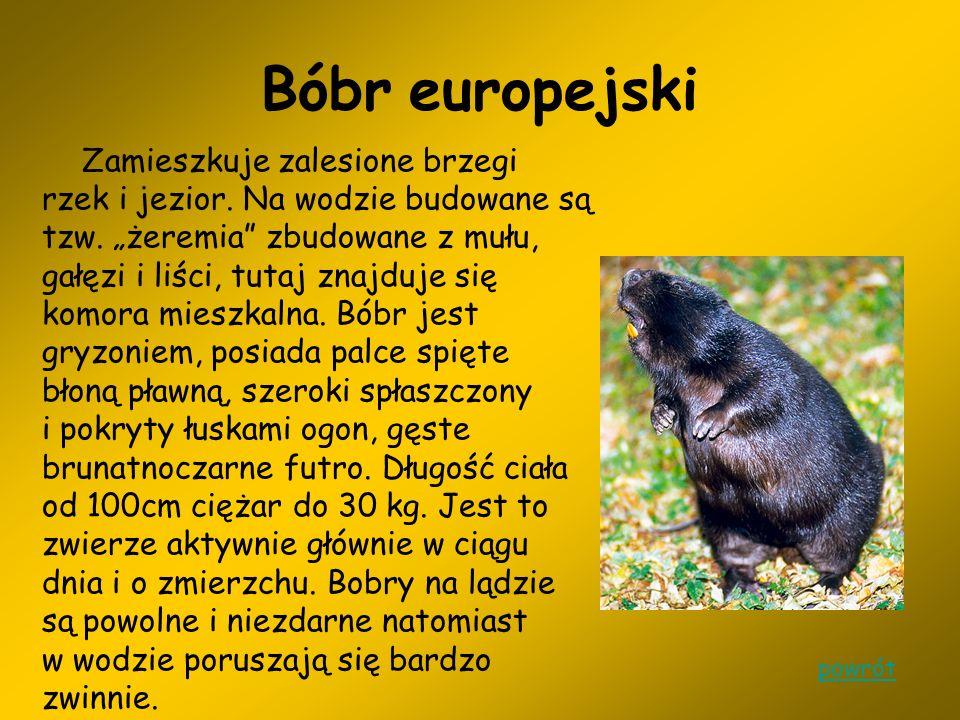 Borsuk Borsuk występuje w lasach całej Polski.