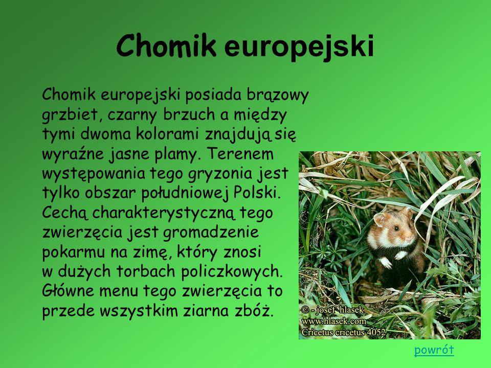 Chomik europejski Chomik europejski posiada brązowy grzbiet, czarny brzuch a między tymi dwoma kolorami znajdują się wyraźne jasne plamy. Terenem wyst