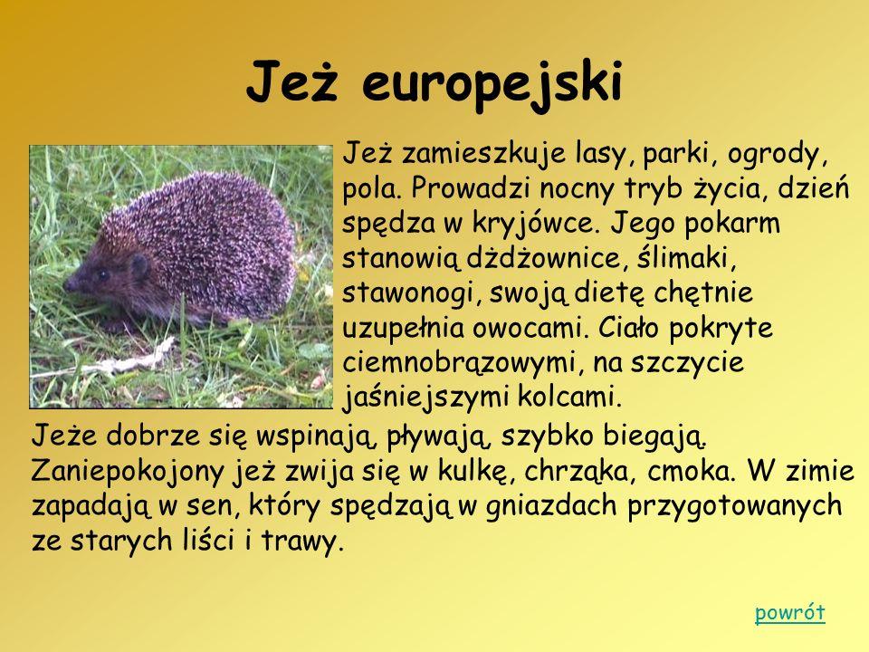 Jeż europejski Jeż zamieszkuje lasy, parki, ogrody, pola. Prowadzi nocny tryb życia, dzień spędza w kryjówce. Jego pokarm stanowią dżdżownice, ślimaki