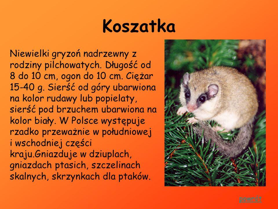 Kozica Kozica ssak zamieszkujący Tatry.