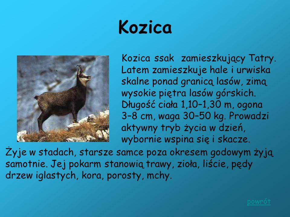 Kozica Kozica ssak zamieszkujący Tatry. Latem zamieszkuje hale i urwiska skalne ponad granicą lasów, zimą wysokie piętra lasów górskich. Długość ciała