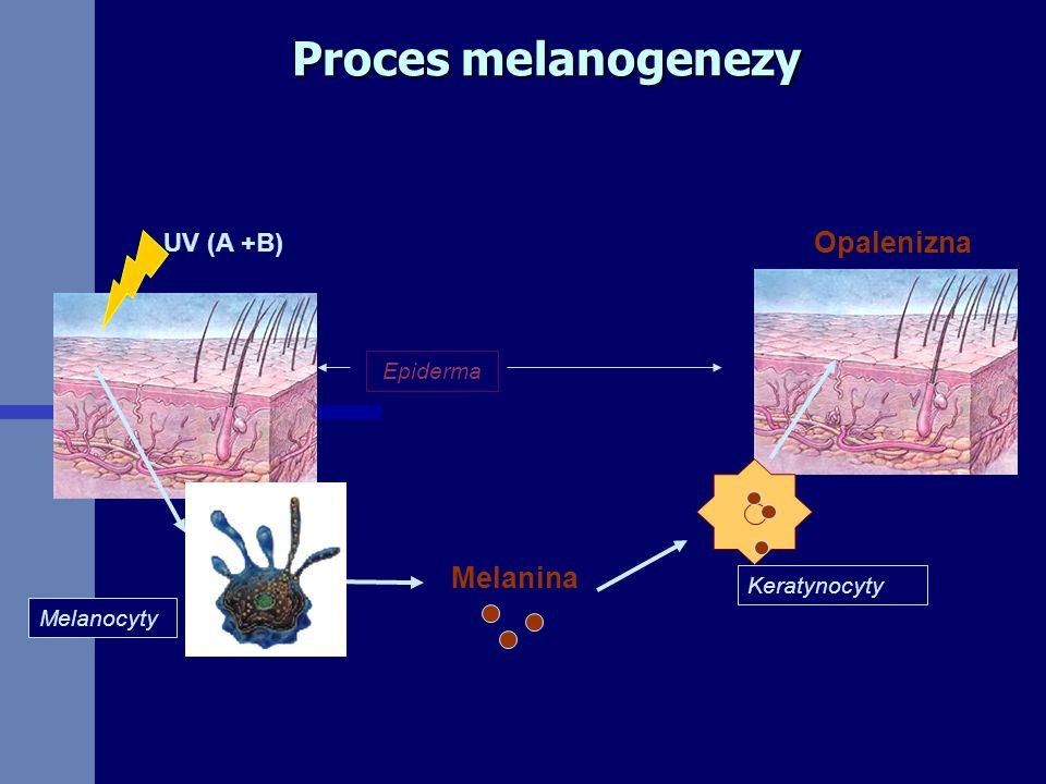 Proces melanogenezy Epiderma Melanina Melanocyty UV (A +B) Keratynocyty Opalenizna