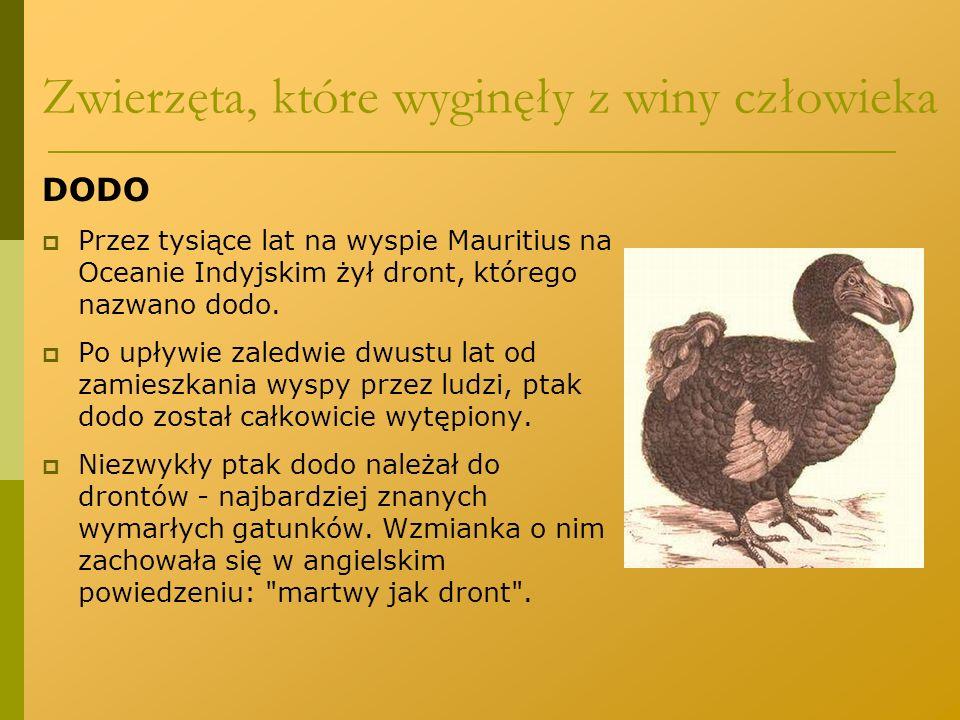 DODO  Przez tysiące lat na wyspie Mauritius na Oceanie Indyjskim żył dront, którego nazwano dodo.  Po upływie zaledwie dwustu lat od zamieszkania wy