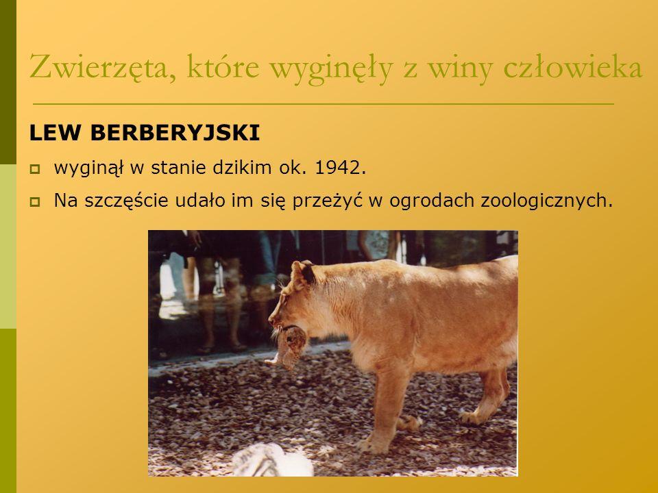 LEW BERBERYJSKI  wyginął w stanie dzikim ok. 1942.  Na szczęście udało im się przeżyć w ogrodach zoologicznych. Zwierzęta, które wyginęły z winy czł