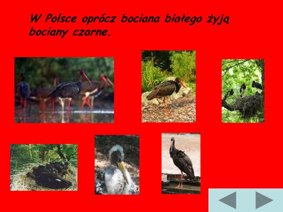 W Polsce oprócz bociana białego żyją bociany czarne.