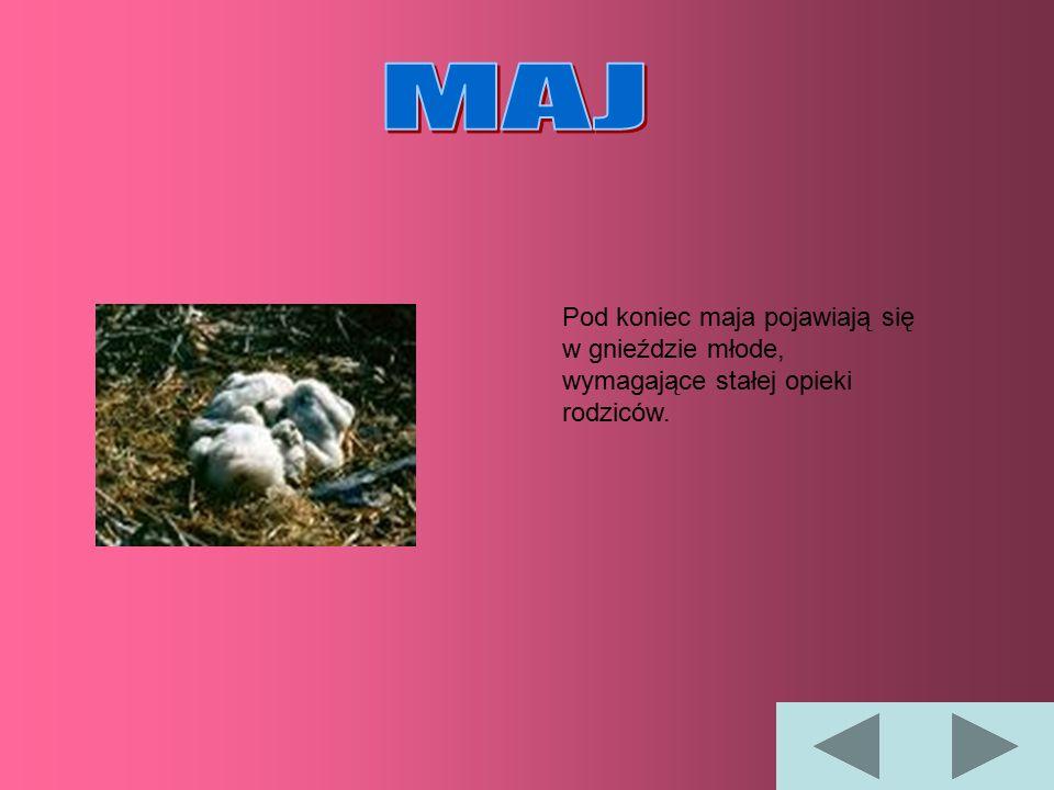 Podrośnięte młode boćki zaczynają podskakiwać w gnieździe i machać skrzydłami.