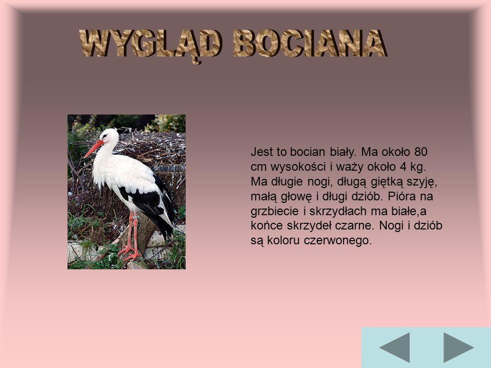 Jest to bocian biały. Ma około 80 cm wysokości i waży około 4 kg. Ma długie nogi, długą giętką szyję, małą głowę i długi dziób. Pióra na grzbiecie i s