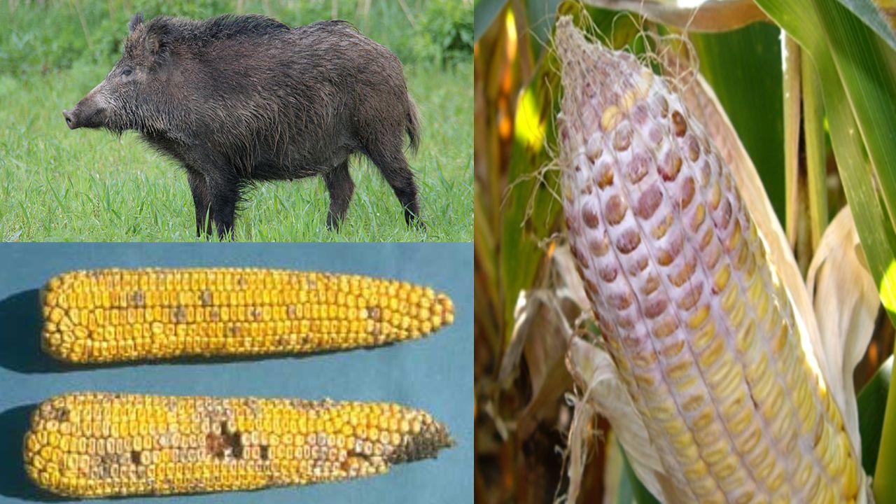 CEL BADAŃ porównanie zawartości zearalenonu i jego pochodnych w wybranych narządach, tkankach i płynach ustrojowych dzików pozyskanych w terenach wielkoobszarowych zasiewów kukurydzy oraz w kompleksach leśnych (kontrola);