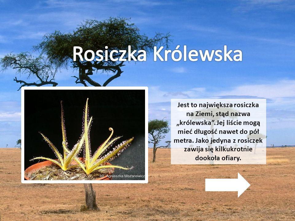 """Jest to największa rosiczka na Ziemi, stąd nazwa """"królewska"""". Jej liście mogą mieć długość nawet do pół metra. Jako jedyna z rosiczek zawija się kilku"""
