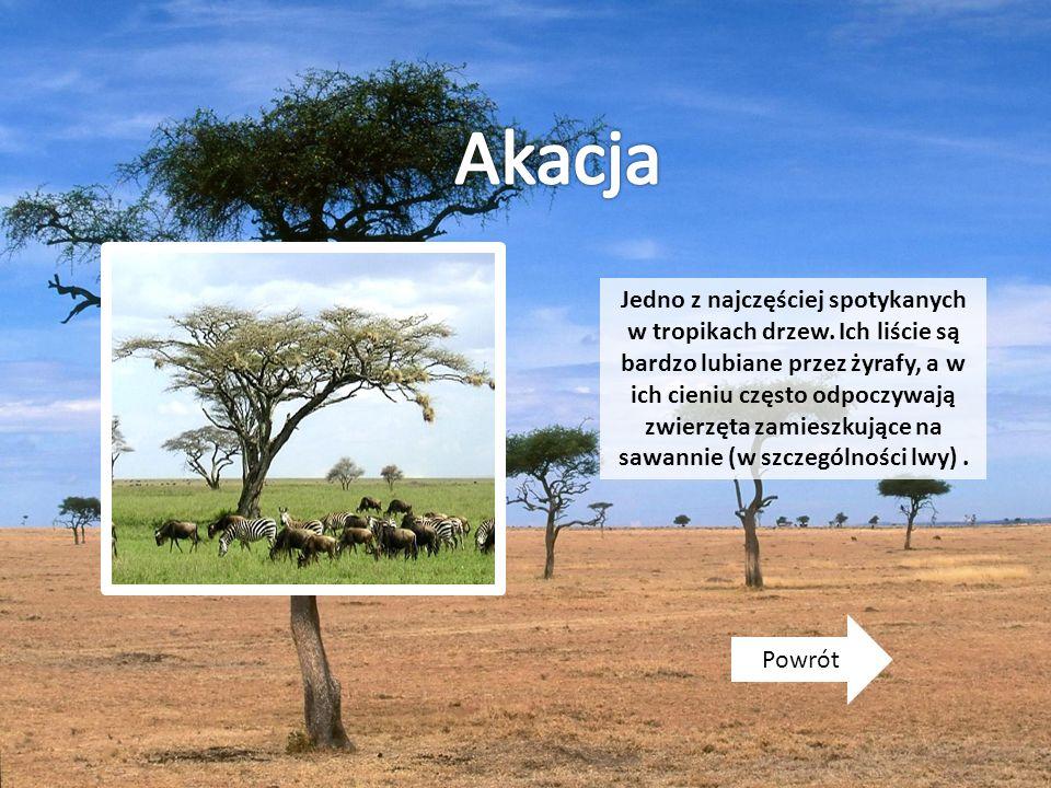 Powrót Jedno z najczęściej spotykanych w tropikach drzew. Ich liście są bardzo lubiane przez żyrafy, a w ich cieniu często odpoczywają zwierzęta zamie