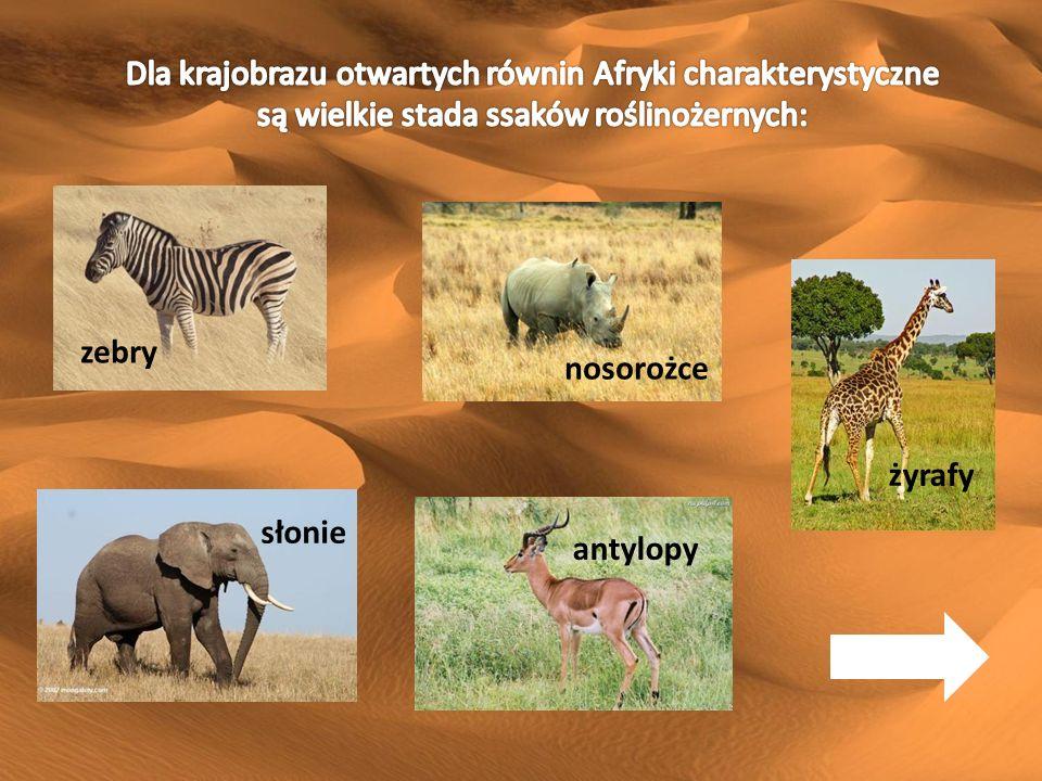 zebry żyrafy nosorożce słonie antylopy