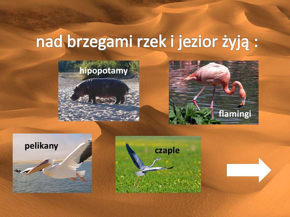 hipopotamy flamingi pelikany czaple