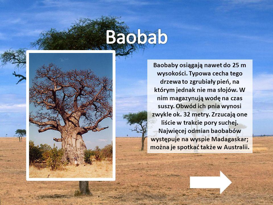 Baobaby osiągają nawet do 25 m wysokości. Typowa cecha tego drzewa to zgrubiały pień, na którym jednak nie ma słojów. W nim magazynują wodę na czas su