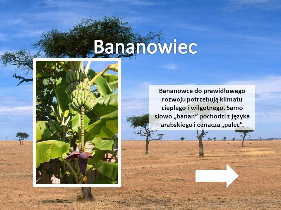 """Bananowce do prawidłowego rozwoju potrzebują klimatu ciepłego i wilgotnego. Samo słowo """"banan"""" pochodzi z języka arabskiego i oznacza """"palec""""."""