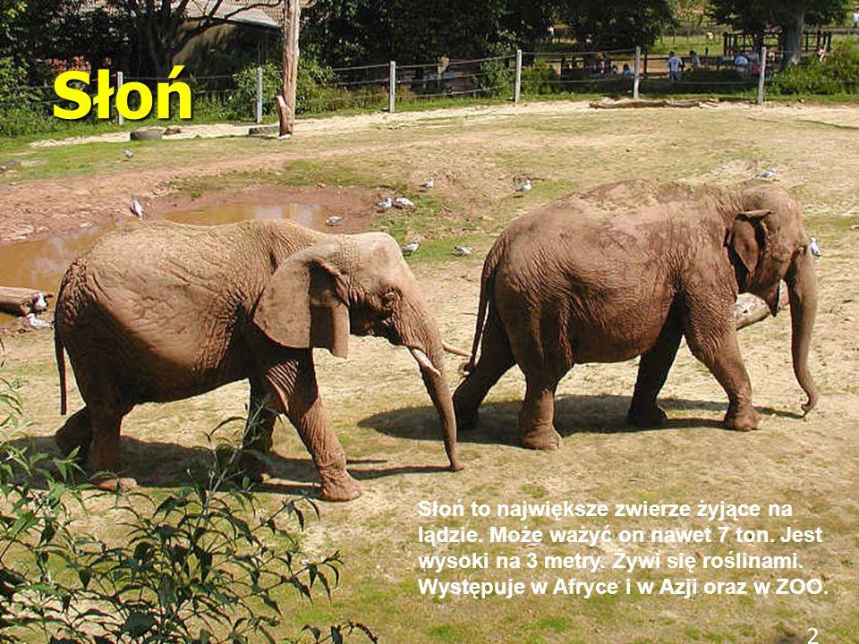 2 Słoń Słoń to największe zwierze żyjące na lądzie. Może ważyć on nawet 7 ton. Jest wysoki na 3 metry. Żywi się roślinami. Występuje w Afryce i w Azji