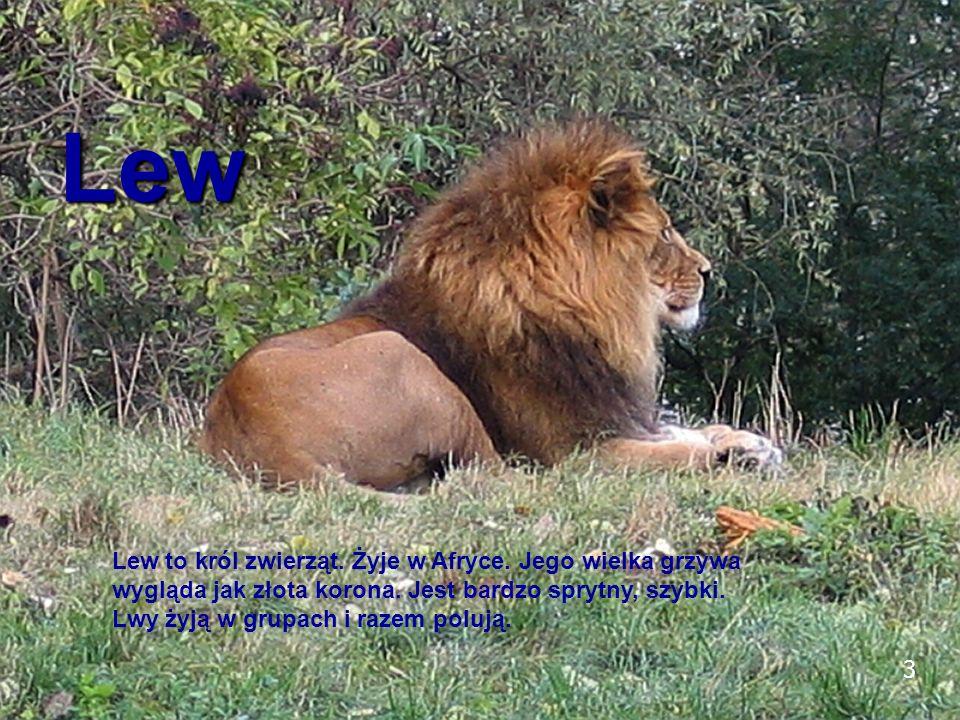 3 Lew Lew to król zwierząt. Żyje w Afryce. Jego wielka grzywa wygląda jak złota korona. Jest bardzo sprytny, szybki. Lwy żyją w grupach i razem polują