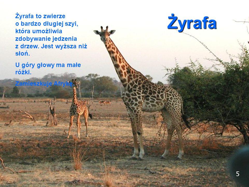 5 Żyrafa Żyrafa to zwierze o bardzo długiej szyi, która umożliwia zdobywanie jedzenia z drzew. Jest wyższa niż słoń. U góry głowy ma małe różki. Zamie