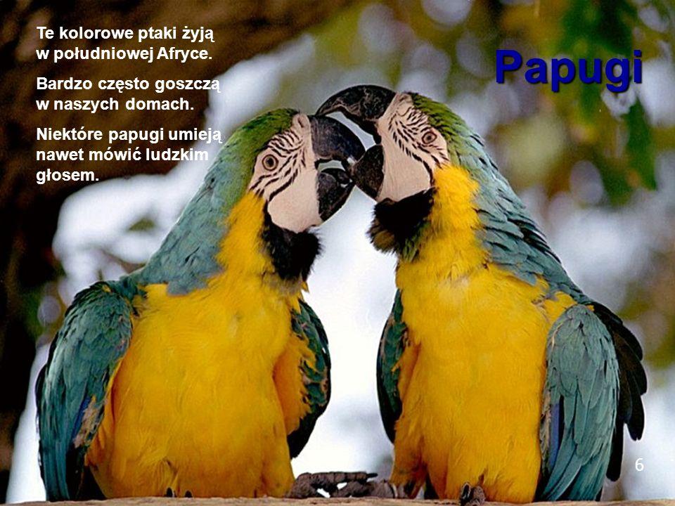 6 Papugi Te kolorowe ptaki żyją w południowej Afryce. Bardzo często goszczą w naszych domach. Niektóre papugi umieją nawet mówić ludzkim głosem. 6