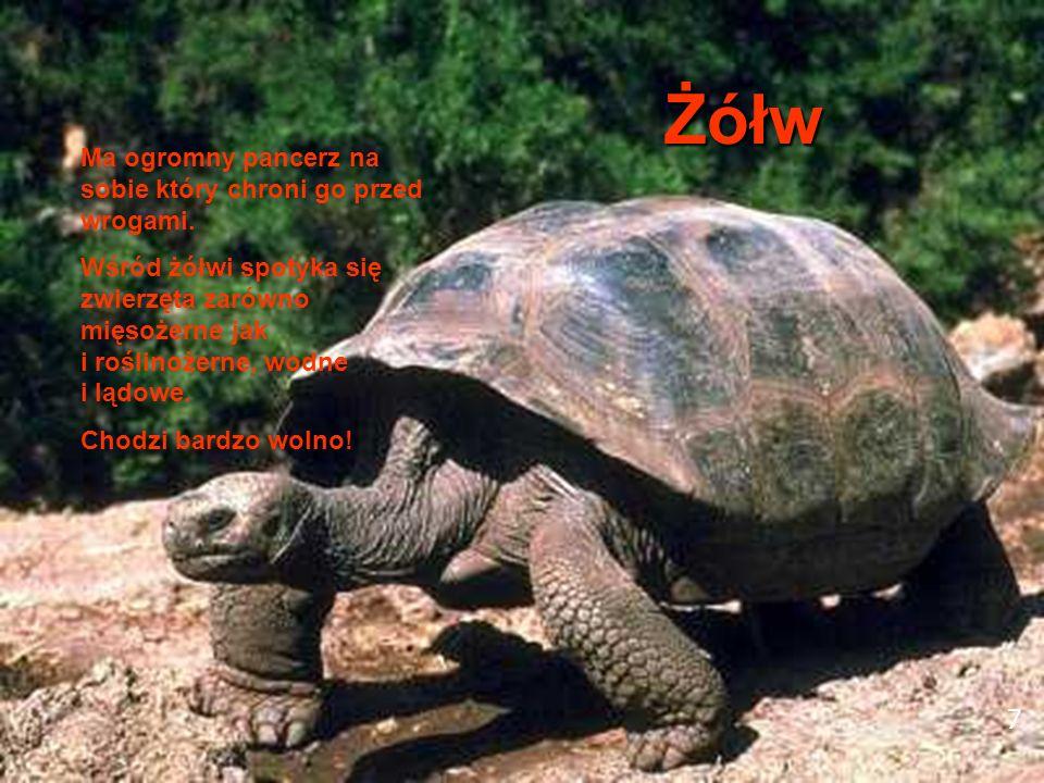 7 Żółw Ma ogromny pancerz na sobie który chroni go przed wrogami. Wśród żółwi spotyka się zwierzęta zarówno mięsożerne jak i roślinożerne, wodne i ląd