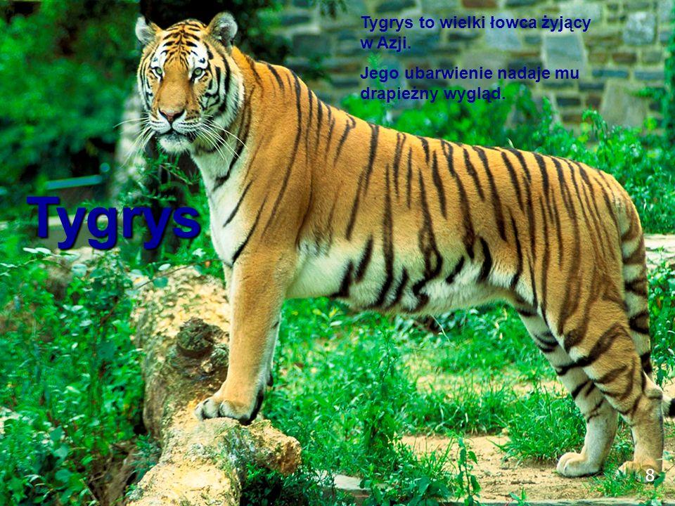 8 Tygrys Tygrys to wielki łowca żyjący w Azji. Jego ubarwienie nadaje mu drapieżny wygląd. 8