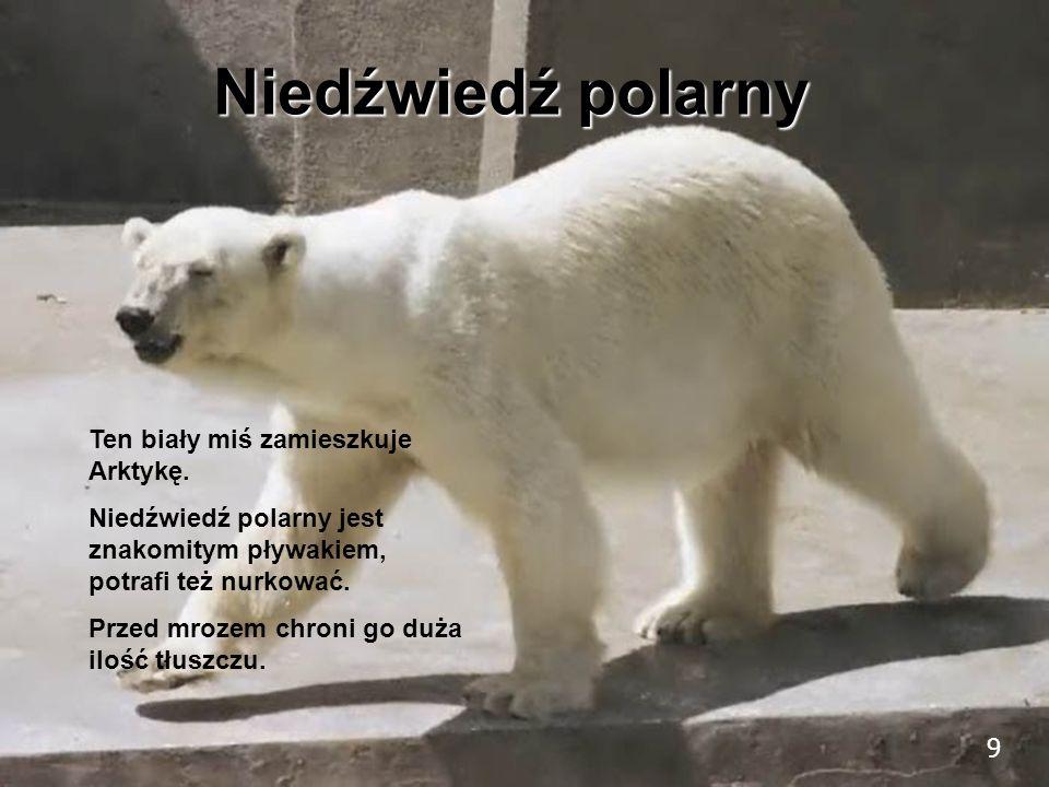 9 Niedźwiedź polarny Ten biały miś zamieszkuje Arktykę. Niedźwiedź polarny jest znakomitym pływakiem, potrafi też nurkować. Przed mrozem chroni go duż