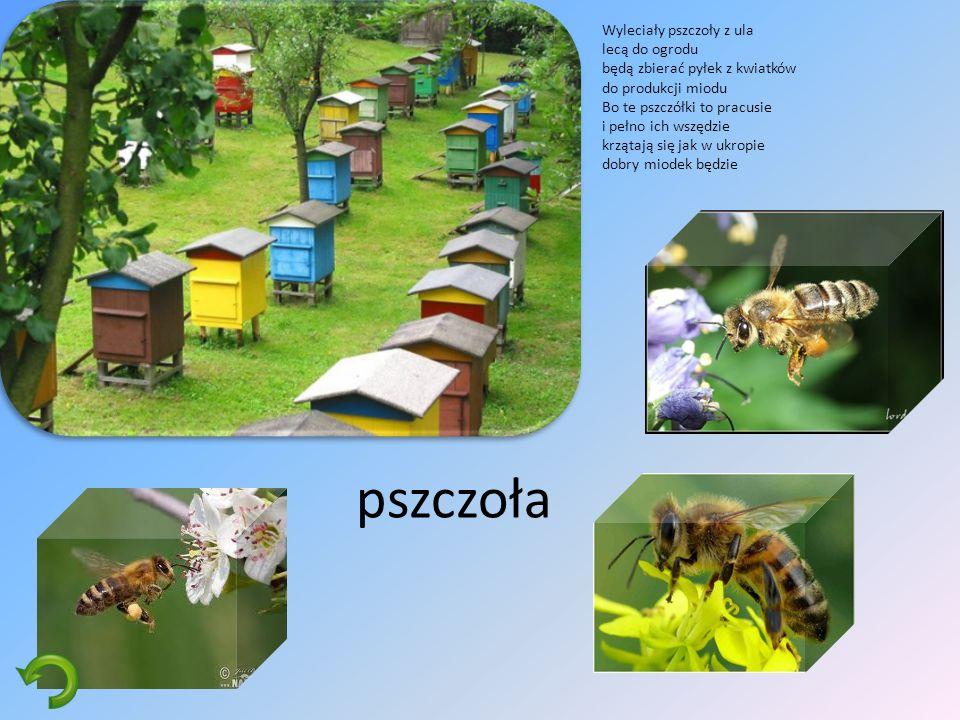 pszczoła Wyleciały pszczoły z ula lecą do ogrodu będą zbierać pyłek z kwiatków do produkcji miodu Bo te pszczółki to pracusie i pełno ich wszędzie krzątają się jak w ukropie dobry miodek będzie