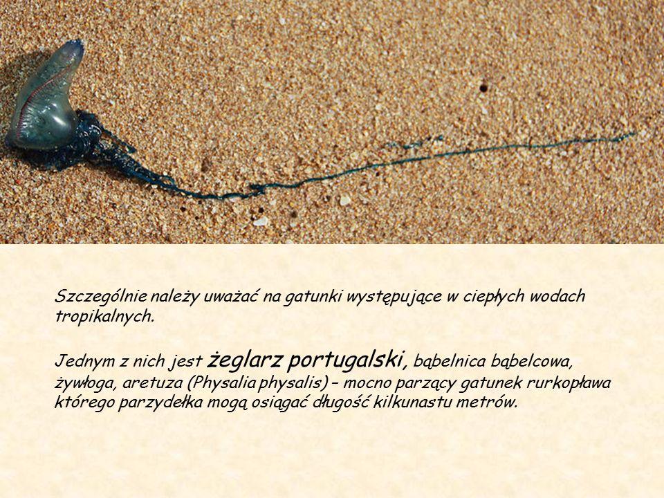 Meduzy – Ich galaretowe ciało kształtem przypomina spłaszczony parasol lub grzyb.
