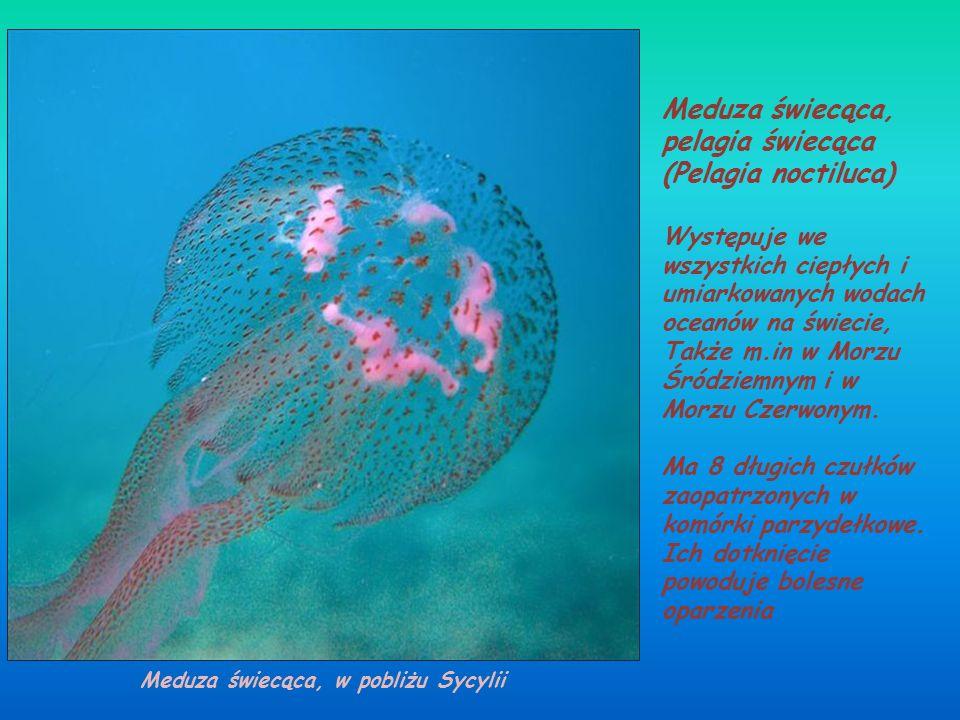 Chełbia modra