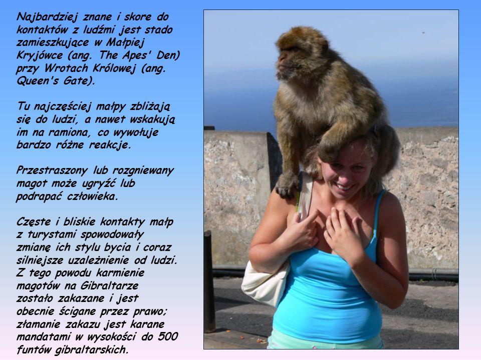Magoty gibraltarskie (Macaca sylvanus) są jedną z głównych atrakcji turystycznych Gibraltaru.