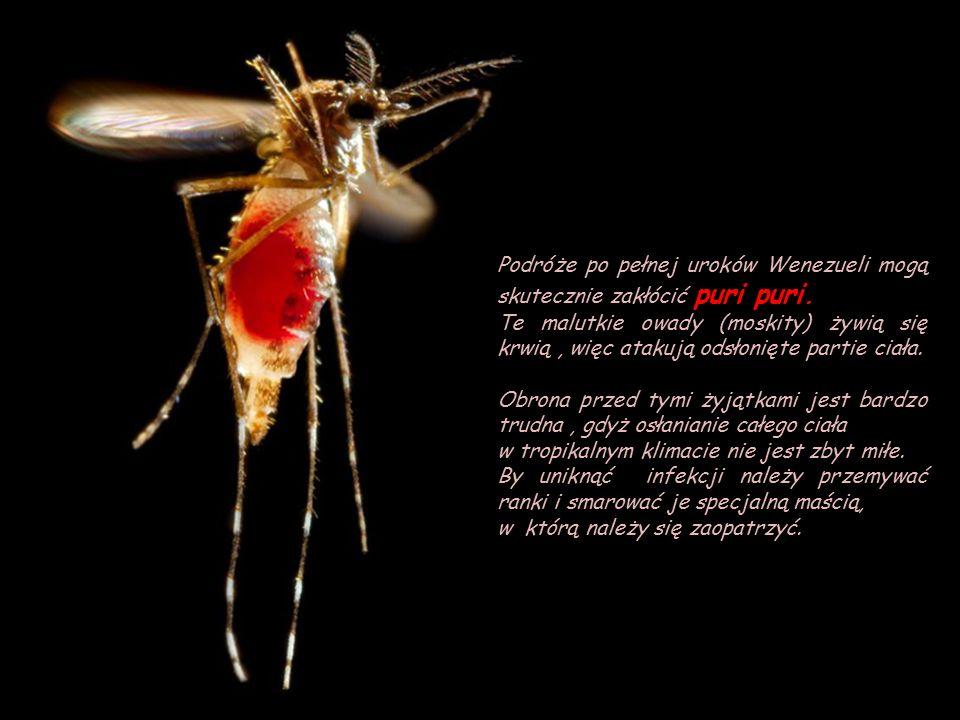 Meduza świecąca, w pobliżu Sycylii Meduza świecąca, pelagia świecąca (Pelagia noctiluca) Występuje we wszystkich ciepłych i umiarkowanych wodach oceanów na świecie, Także m.in w Morzu Śródziemnym i w Morzu Czerwonym.