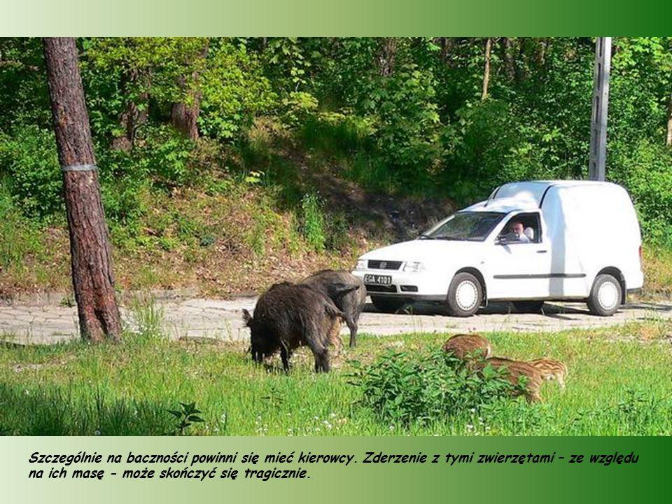 Dziki podchodzą blisko zabudowań, a turyści często spotykają je na trasach swoich wędrówek.