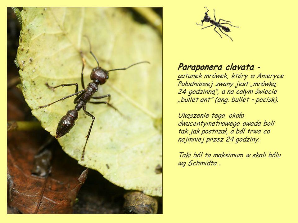 puri puri w powiększeniu i skutki po ukłuciu owadów.