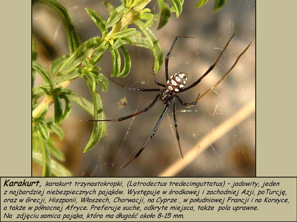 Karakurt, karakurt trzynastokropki, (Latrodectus tredecimguttatus) – jadowity, jeden z najbardziej niebezpiecznych pająków.