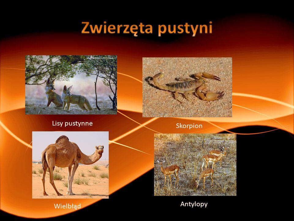 Lisy pustynne Skorpion Wielbłąd Antylopy