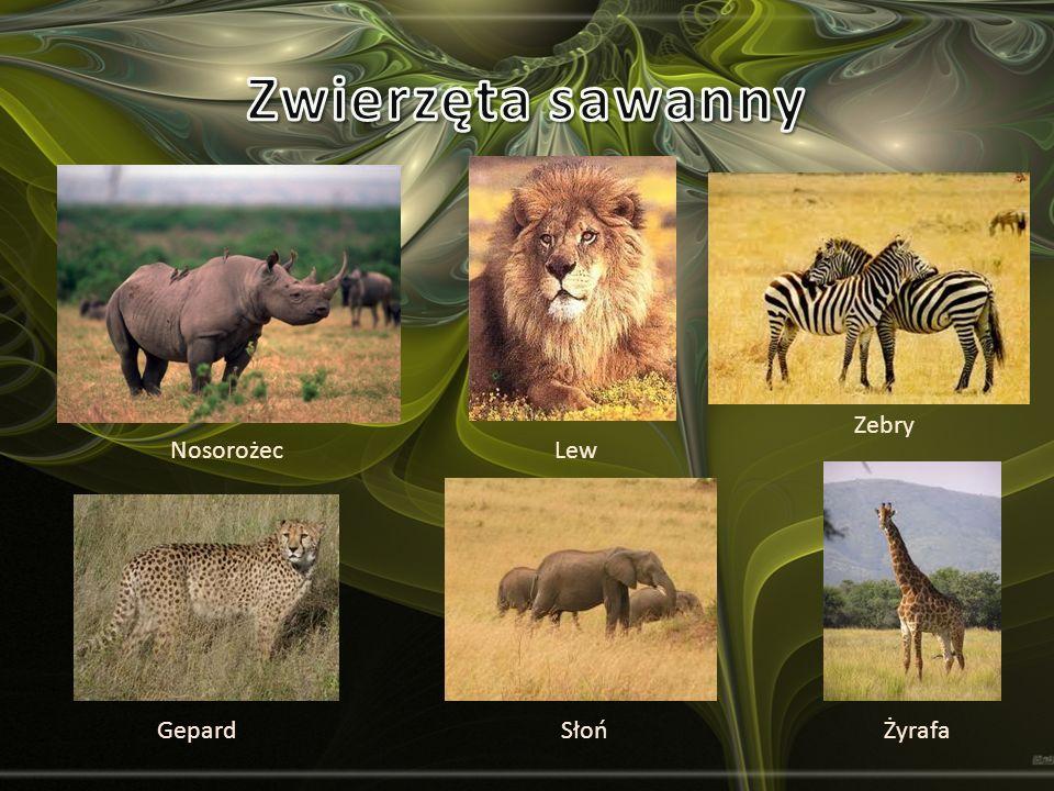 Gepard Nosorożec ŻyrafaSłoń Lew Zebry