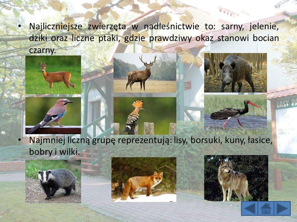 Najliczniejsze zwierzęta w nadleśnictwie to: sarny, jelenie, dziki oraz liczne ptaki, gdzie prawdziwy okaz stanowi bocian czarny.