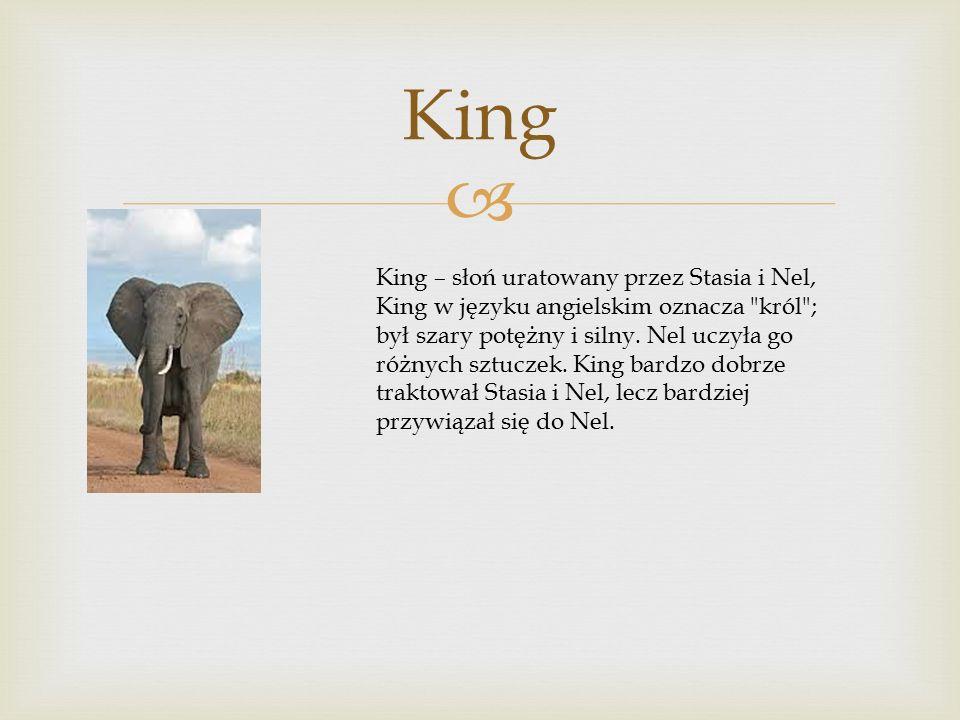  King King – słoń uratowany przez Stasia i Nel, King w języku angielskim oznacza król ; był szary potężny i silny.