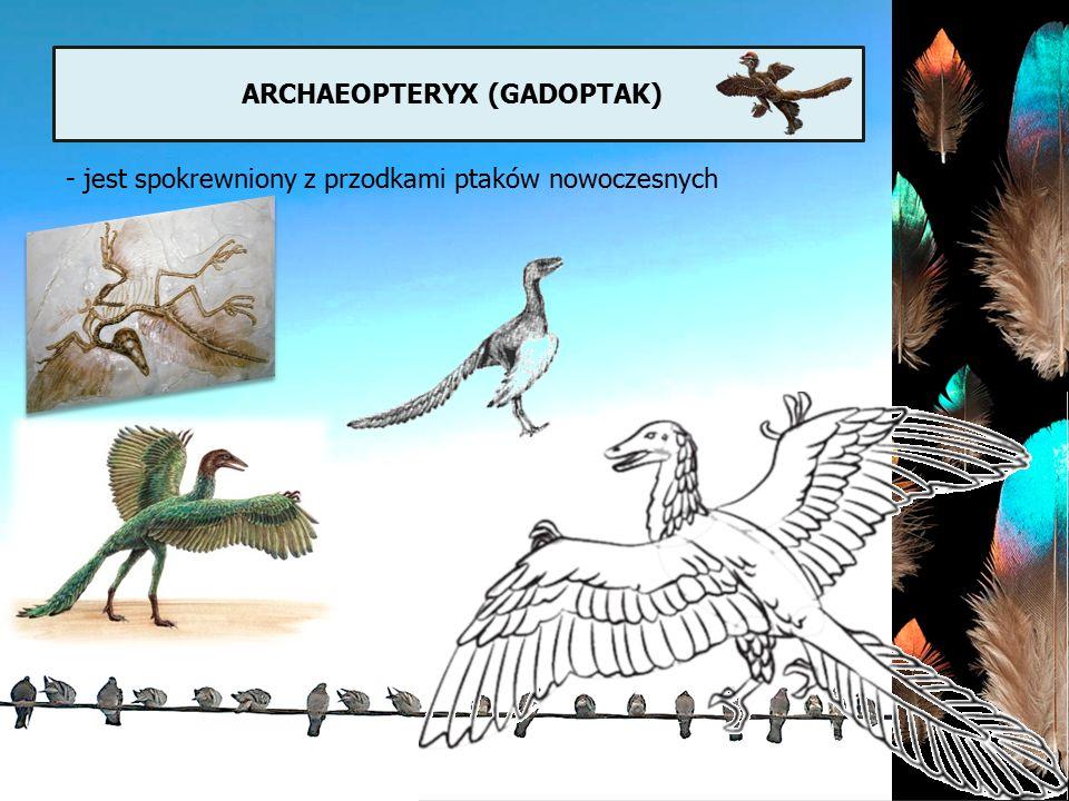 ARCHAEOPTERYX (GADOPTAK) - jest spokrewniony z przodkami ptaków nowoczesnych