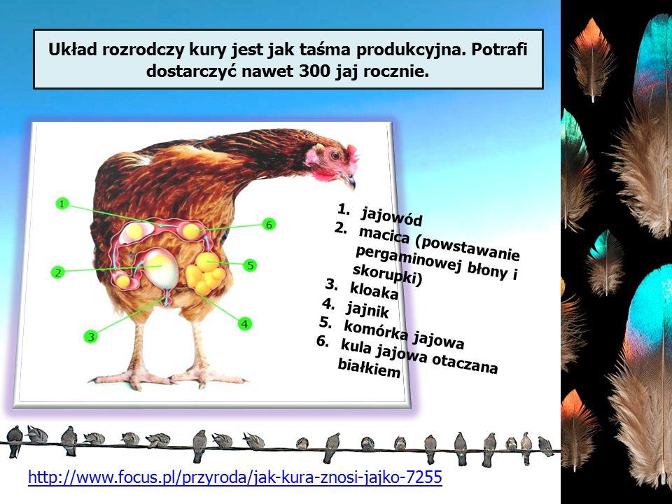 Układ rozrodczy kury jest jak taśma produkcyjna. Potrafi dostarczyć nawet 300 jaj rocznie. http://www.focus.pl/przyroda/jak-kura-znosi-jajko-7255 1.ja