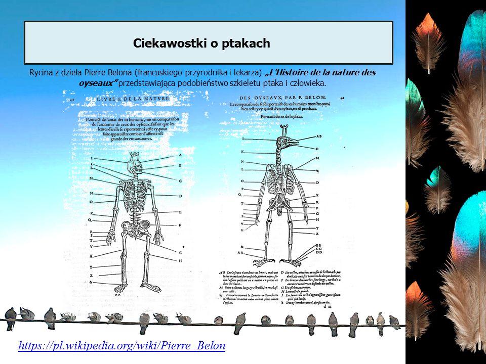 """https://pl.wikipedia.org/wiki/Pierre_Belon Rycina z dzieła Pierre Belona (francuskiego przyrodnika i lekarza) """"L'Histoire de la nature des oyseaux"""" pr"""