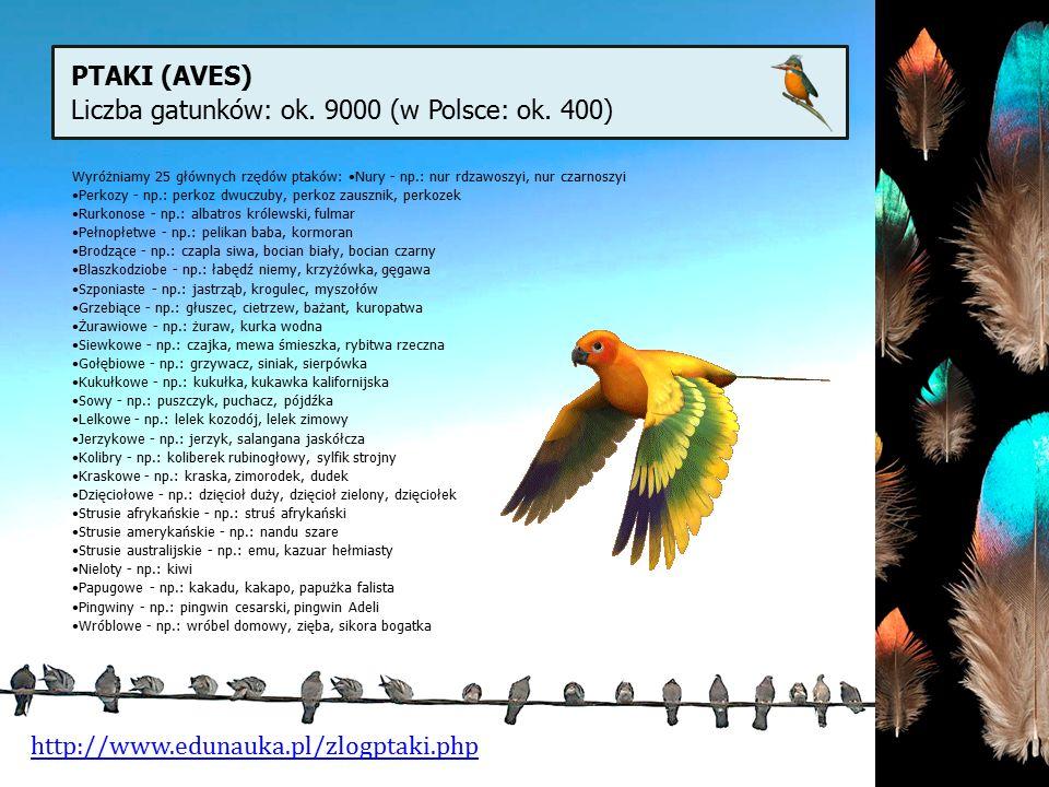 PTAKI (AVES) Liczba gatunków: ok. 9000 (w Polsce: ok. 400) http://www.edunauka.pl/zlogptaki.php Wyróżniamy 25 głównych rzędów ptaków: Nury - np.: nur