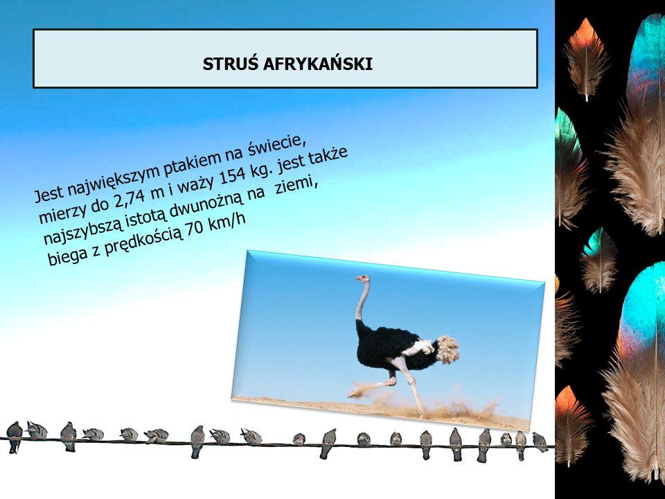 STRUŚ AFRYKAŃSKI Jest największym ptakiem na świecie, mierzy do 2,74 m i waży 154 kg. jest także najszybszą istotą dwunożną na ziemi, biega z prędkośc