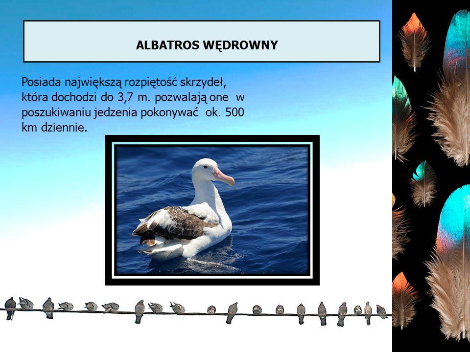 ALBATROS WĘDROWNY Posiada największą rozpiętość skrzydeł, która dochodzi do 3,7 m. pozwalają one w poszukiwaniu jedzenia pokonywać ok. 500 km dziennie
