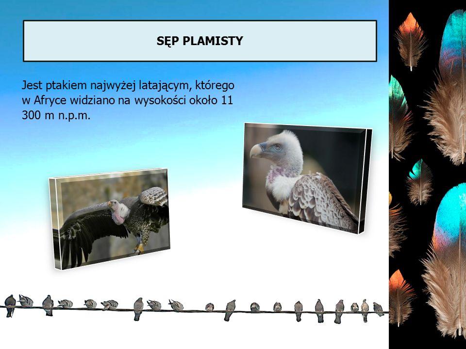 SĘP PLAMISTY Jest ptakiem najwyżej latającym, którego w Afryce widziano na wysokości około 11 300 m n.p.m.