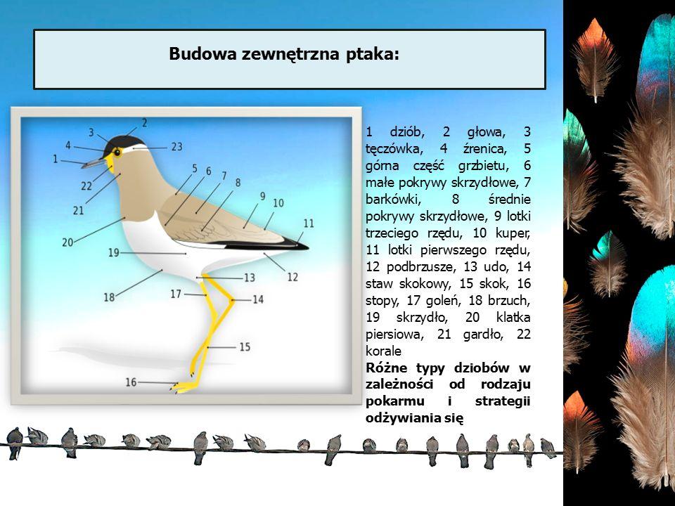 Budowa zewnętrzna ptaka: 1 dziób, 2 głowa, 3 tęczówka, 4 źrenica, 5 górna część grzbietu, 6 małe pokrywy skrzydłowe, 7 barkówki, 8 średnie pokrywy skr
